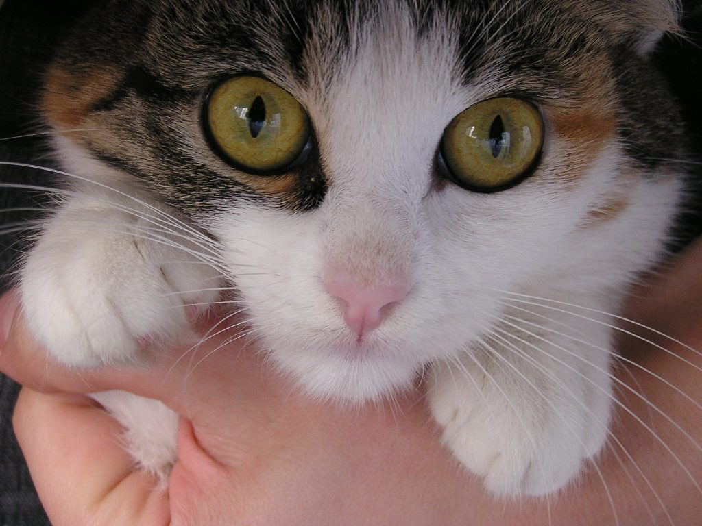 VIRAL DISEASES IN CATS