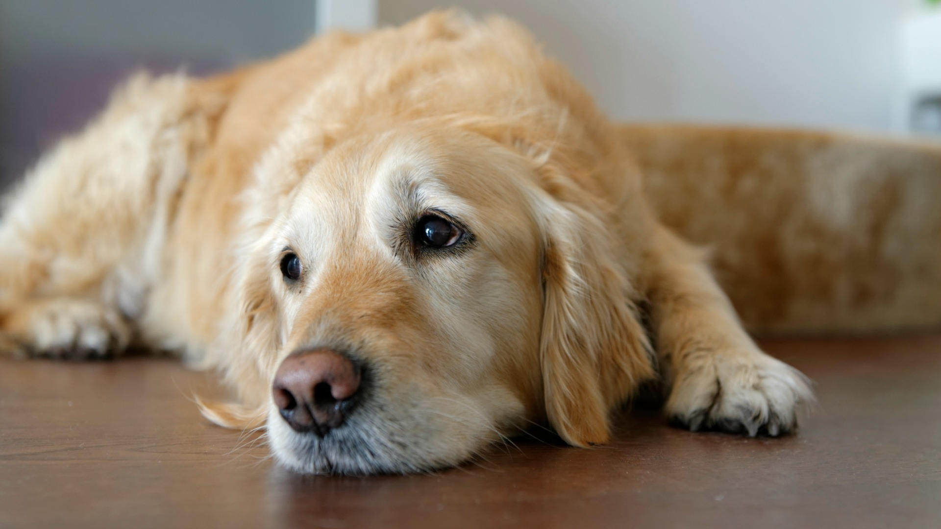 Problems of treatment of hypothyroidism in dogs